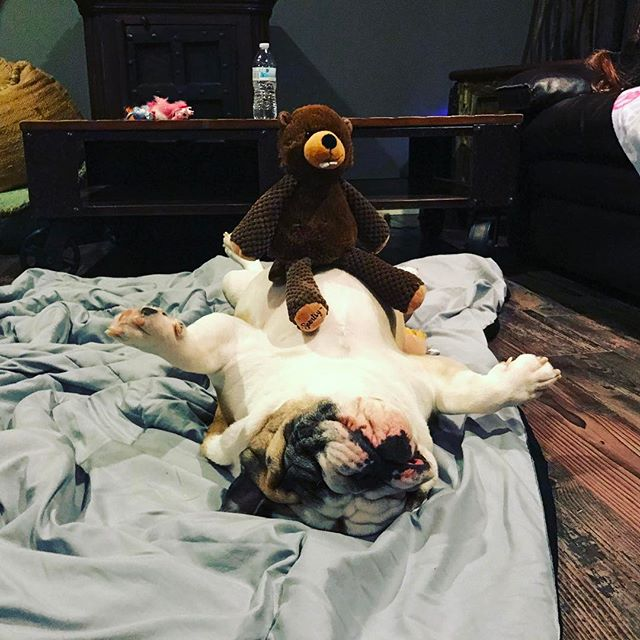 The monkey is on the football! #bulldog #bully #wtf #igotnothing